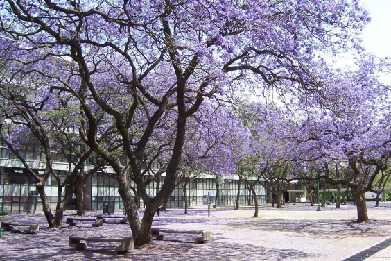 7 apropiados y ben ficos rboles para la ciudad for Arboles para sombra de poca raiz