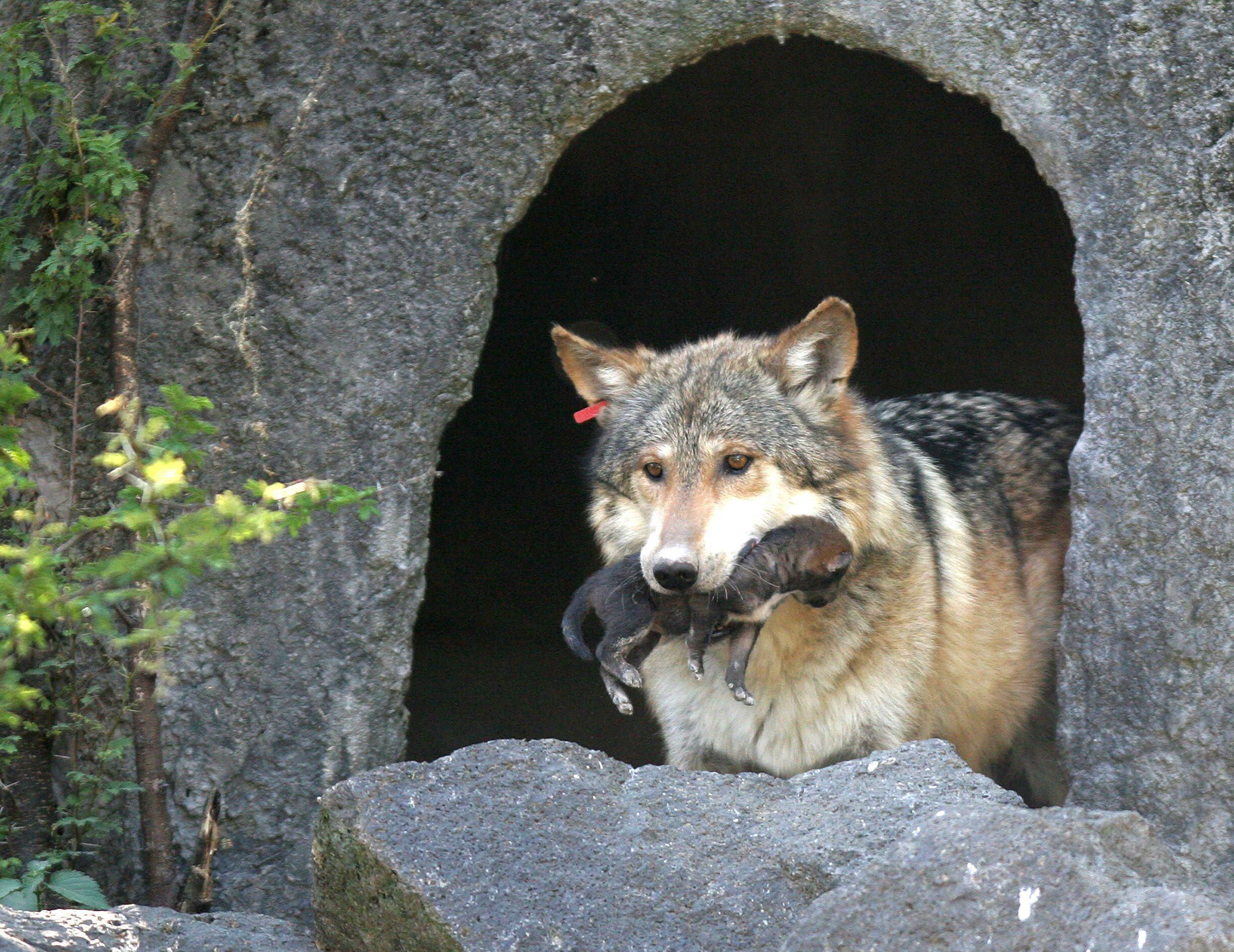Rehabilitación Del Lobo Gris En Proceso: Ocho Lobos Mexicanos Nacieron En Una Reserva De New York