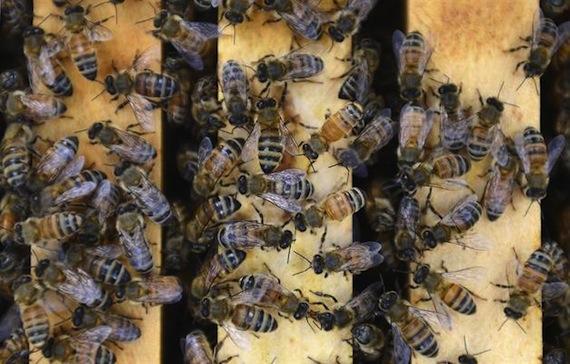 La presencia de abejas es necesaria para la producción de alimentos. Foto: EFE