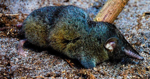 thors hero shrew Hero shrew (s somereni) thor's hero shrew  solisorex: pearson's long-clawed shrew  chinese water shrew (c styani) sumatran water shrew (c sumatrana.