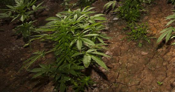En diciembre entrará en vigor en Uruguay la ley que legaliza el consumo de mariguana. Foto: Cuartoscuro