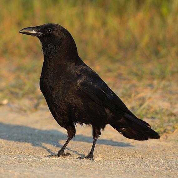 No sólo los mamíferos piensan; el cerebro de los cuervos puede ...