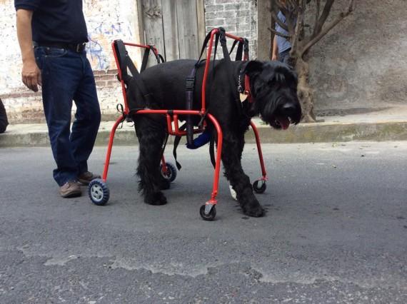 Car can la empresa que con sillas de ruedas les salva la for Sillas para perros