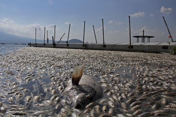 Los animales muertos son de la especie popocha, que habita también en el Lago de Chapala. Foto: Cuartoscuro