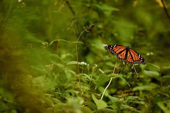 En 2013 el espacio ocupado por las mariposas monarca en Michoacán se redujo en un 40 por ciento. Fotografía: Cuartoscuro