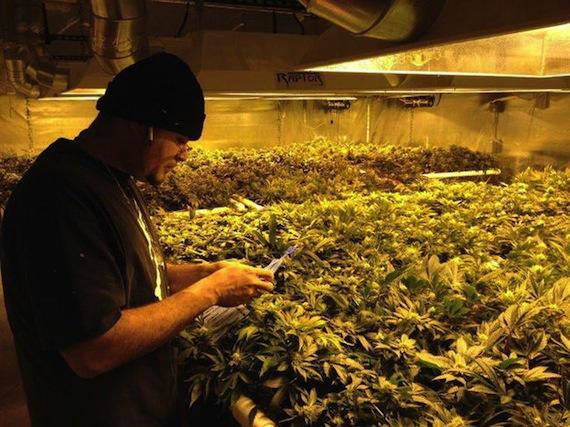 Un cultivador prepara su producto en Colorado. Foto: EFE.