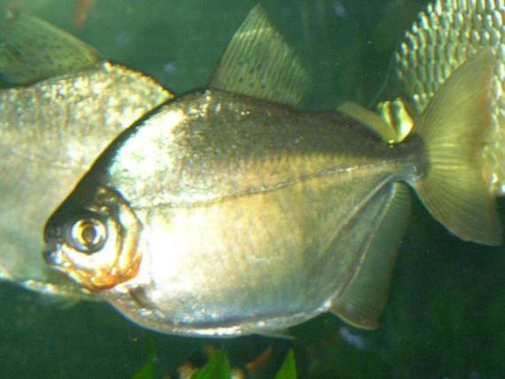Silver_dollar_fish_Metynnis_argenteus