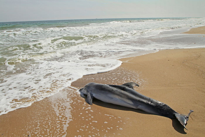 A pesar de varios estudios presentados en los últimos años que muestran la relación del derrame de petróleo en 2010 y las muertes de estos animales, la compañía petrolera no reconoce su responsabilidad en esta catástrofe del ecosistema marino. Foto: Shutterstock/Archivo.