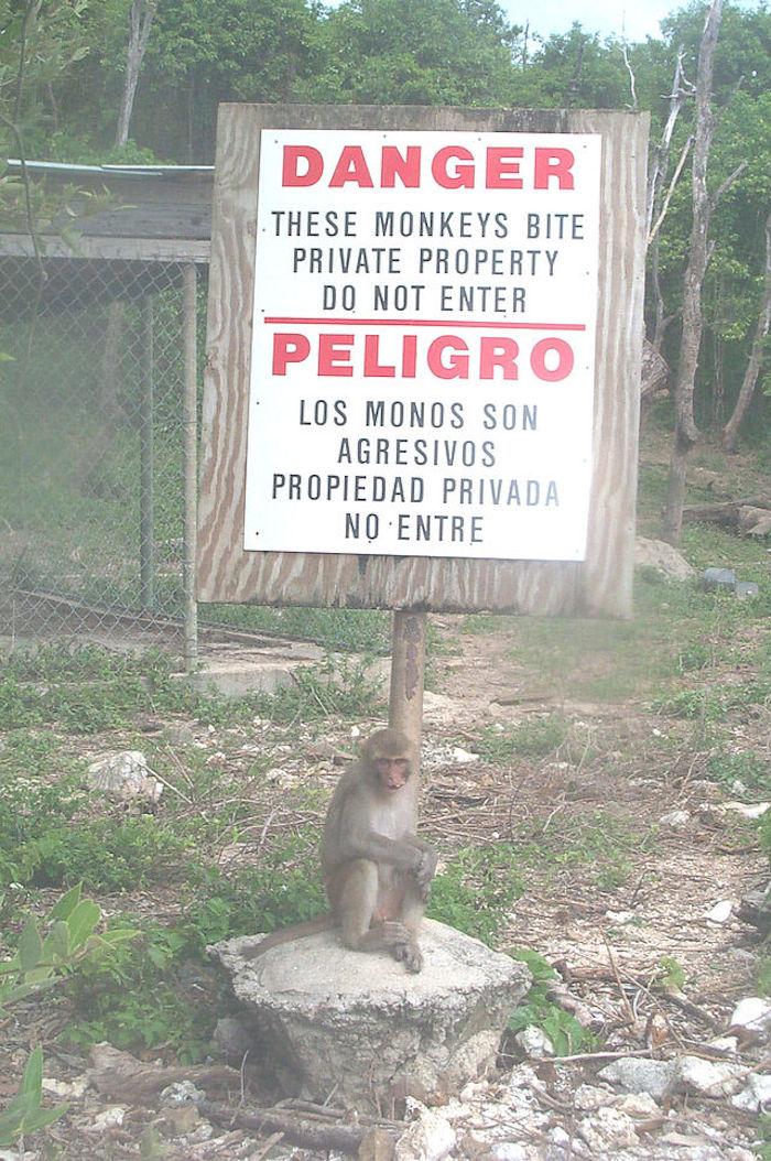Ya que los monos que habitan aquí son salvajes, nadie habita la isla e investigadores viajan diario para estudiar a los primates. Foto: Especial.