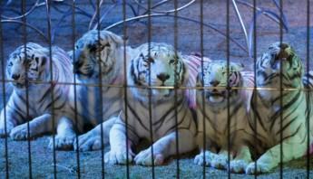 En la imagen se puede observar a cinco tigres del tradicional Circo Francisco Atayde de la ciudad de Puebla. Foto: Notimex/Archivo