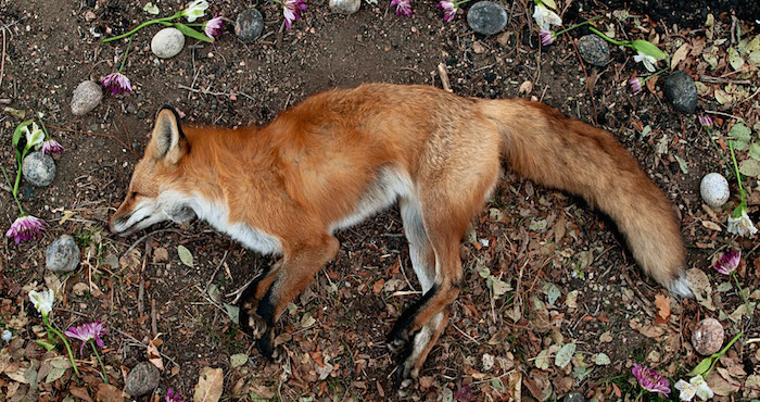 Fox, from the series At Rest