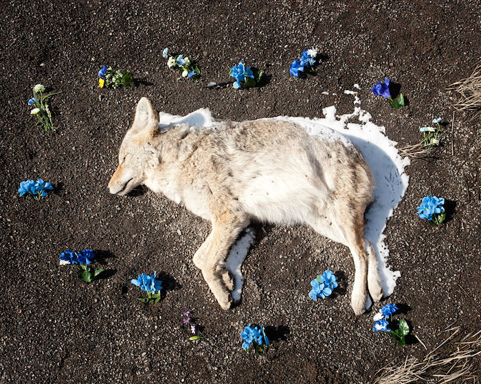 Coyote, from the series At Rest