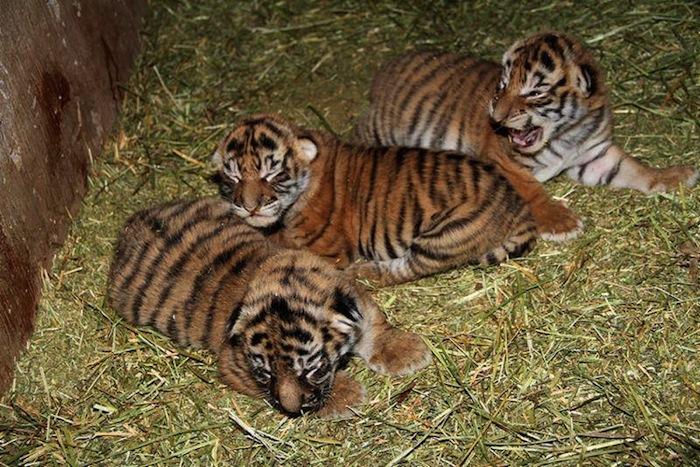 Tres cachorros de tigres de bengala nacen en zoológico de ...