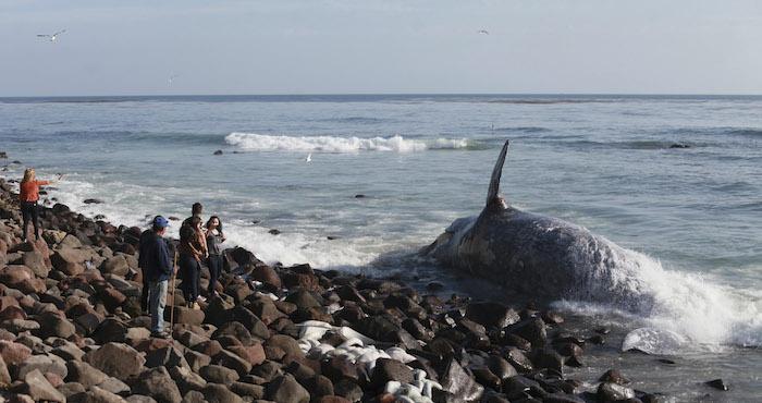 Una ballena gris muerta en un puerto pesquero mexicano. Es la única especie de ballena que siempre se mantiene cercana a la costa, a una distancia máxima de 20 kilómetros. Foto: Cuartoscuro/Archivo.
