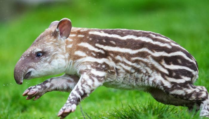Cría de tapir de baird. Debido a su baja tasa de reproducción, (su gestación es de 13 meses y la cría pasa alrededor de dos años con la madre) el tapir centroamericano se recupera más lentamente de lo que desaparece. Foto: Especial.