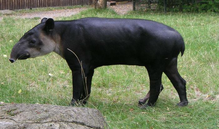 """Los tapires son animales solitarios y generalmente inofensivos. Se sabe que prefieren estar activos durante horas crepusculares y nocturnas, además de evadir sitios con actividad humana. Lo que los convierte en unos """"fantasmas de la selva"""". Foto: Especial."""
