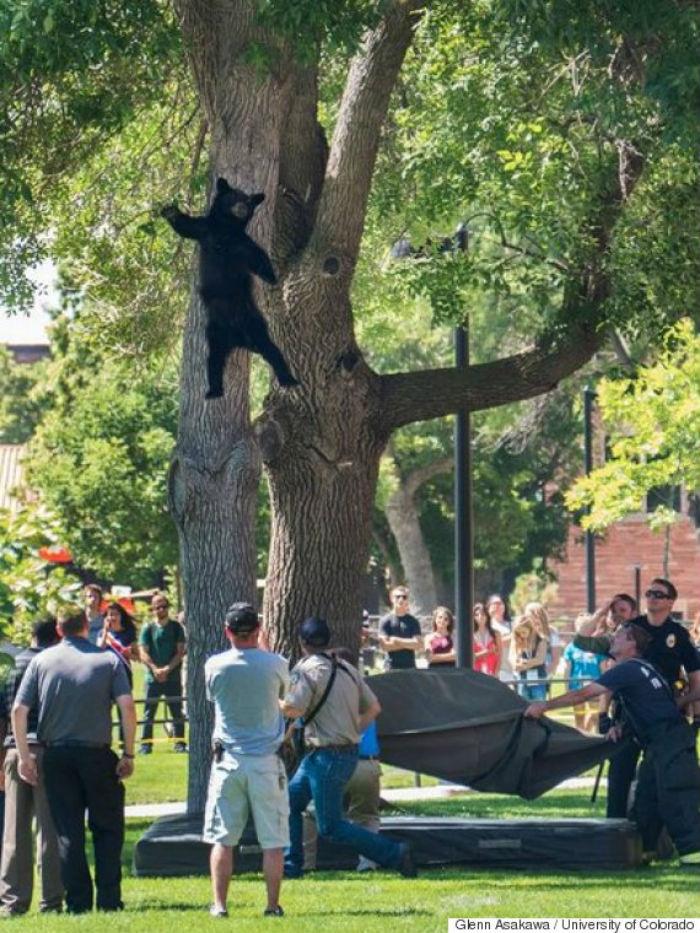 Oso se cae de un árbol en una universidad estadounidense... otra vez ...