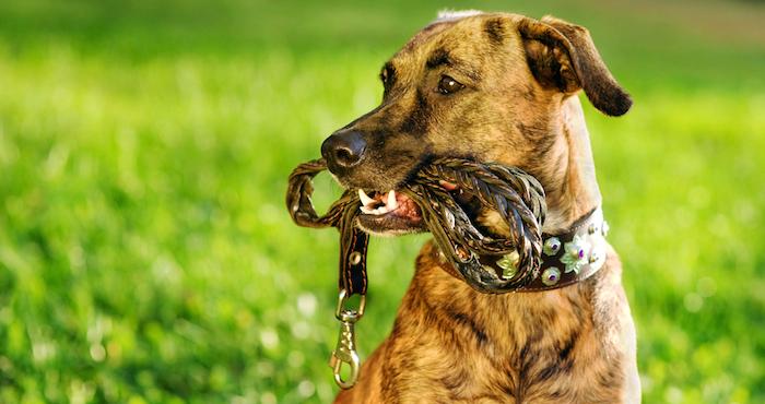 Asegúrate de usar correas resistentes para tu mascota. Foto: Shutterstock