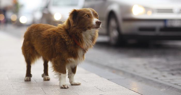 Es importante tomar diversas medidas preventivas para no extraviar a nuestras mascotas. Foto: Shutterstock
