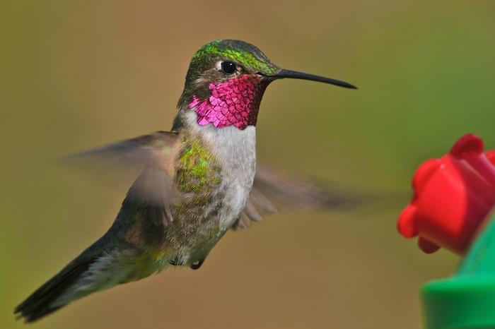 colibri tijereta mexicano volando