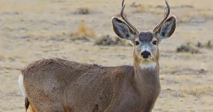 La SEMARNAT no ha implementado un plan de manejo para el venado Bura de Isla de Cedros y este sufre una crítica situación de peligro. Foto: Elvigia.net