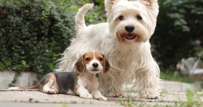 embarazos psicologicos en perras: