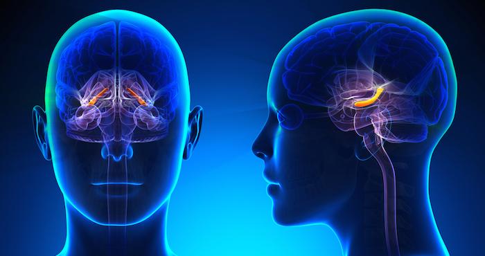 El equipo de investigación encontró cambios de tamaño en el hipocampo. Foto: Shutterstock
