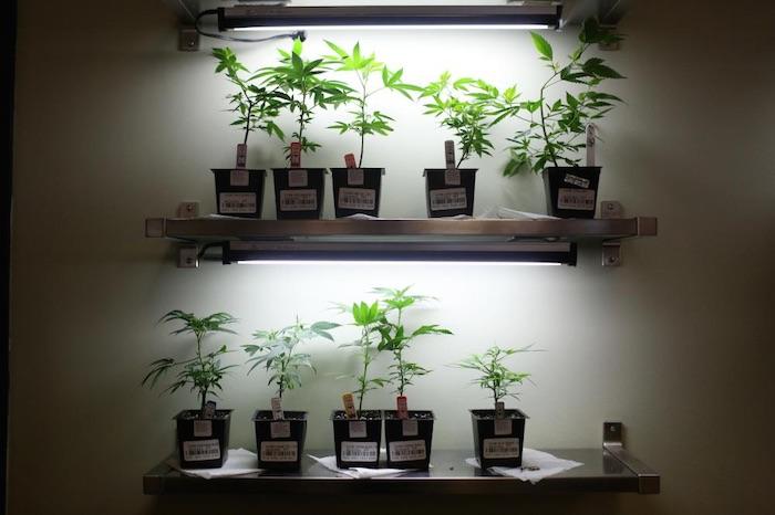 Plantas del dispensario de marihuana Human Collective en Portland. Foto: Kirsten Luce/VICE News.