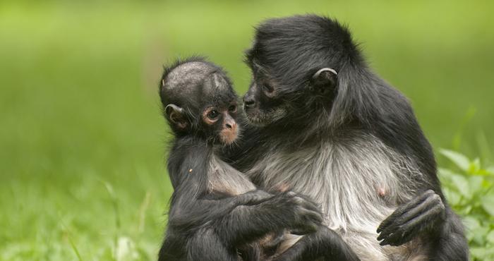 Mono araña Foto: Shutterstock
