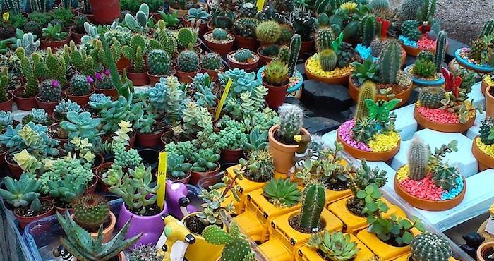 Cactus entre las especies m s amenazadas del planeta por for Especies de cactus