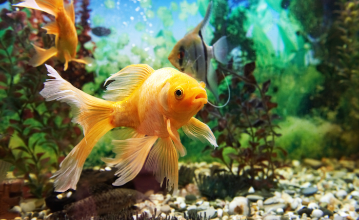 Quieres o tienes peces awf da algunos consejos para for Acuarios ornamentales