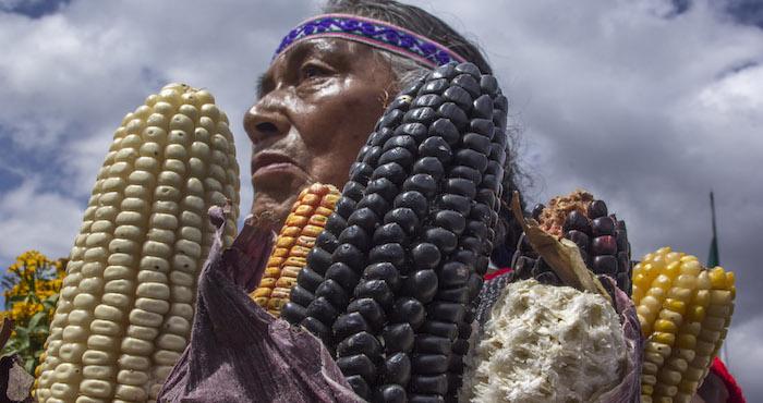Un juez federal decidió suspender la siembra o liberación de maíz transgénico hasta que se resuelva la apelación definitiva. Foto: Cuartoscuro