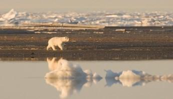 Oso polar y cambio climático