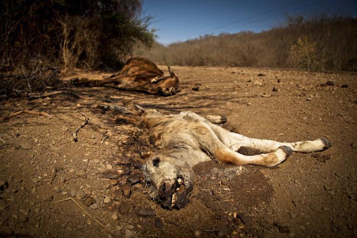 Ganado muerto en Sinaloa debido a la falta de agua. Foto: Cuartoscuro.