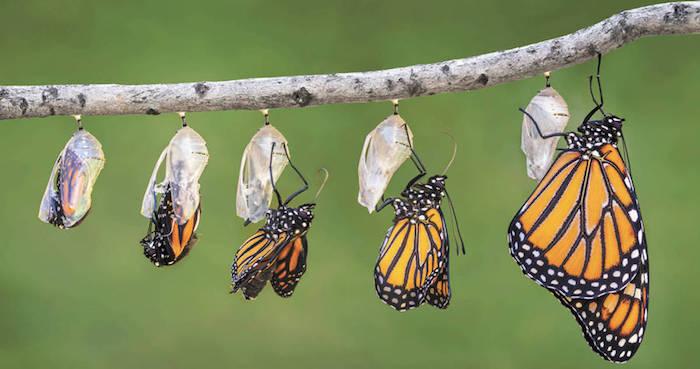 Las hojas de las asclepias sirven a las Monarca para poner sus huevecillos, además de ser el alimento para las orugas, lugar de resguardo para las crisálidas y finalmente donde nacerán las mariposas. Foto: Daniel Bates Hurtado/Vanguardia