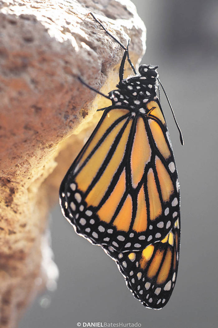 En pocos minutos las mariposas comenzaron a explorar el jardín de Laura, se espera que emprendan el vuelo junto con las que vienen migrando de Canadá. Foto: Daniel Bates Hurtado/Vanguardia