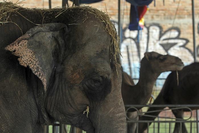 Elefanta maltratada en un circo mexicano. Foto: Cuartoscuro.