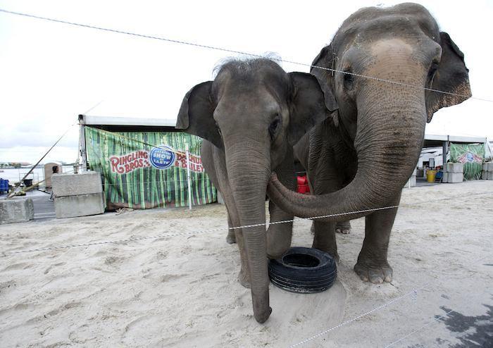 Elefantes. Foto: AP