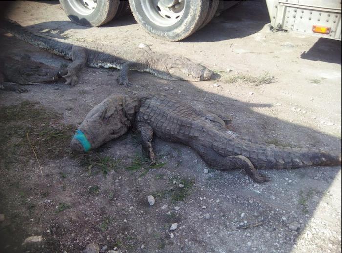 El traslado de 350 cocodrilos por carretera provocó la muerte de 124 reptiles. Foto: @PROFEPA_Mx