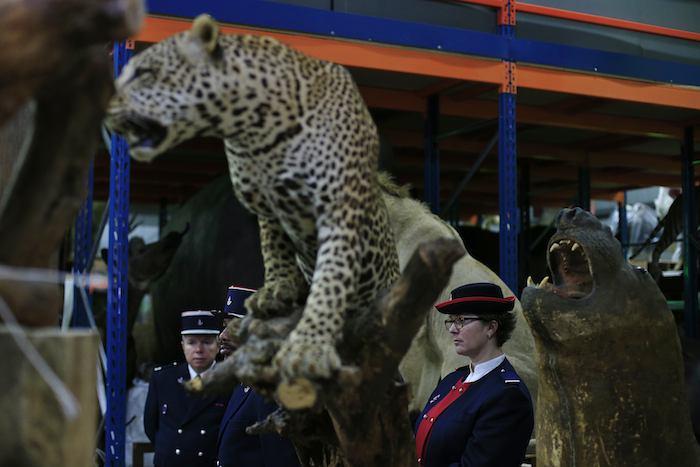 Funcionarios aduanales catalogaron el hecho como una de las confiscaciones más notables de especies protegidas en años recientes en Francia. Foto: AP