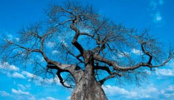 Raíces de baobab, un texto apasionado. Foto: Shutterstock