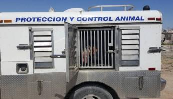 En otros países los pitbull están regulados por legislaciones. Foto: Especial/Vanguardia.