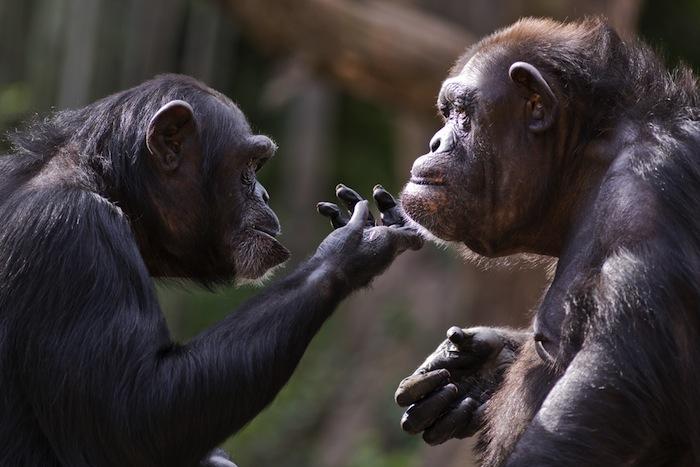 Los bonobos resuelven sus conflictos con favores sexuales, inclusive entre dos hembras. Foto: Shutterstock.