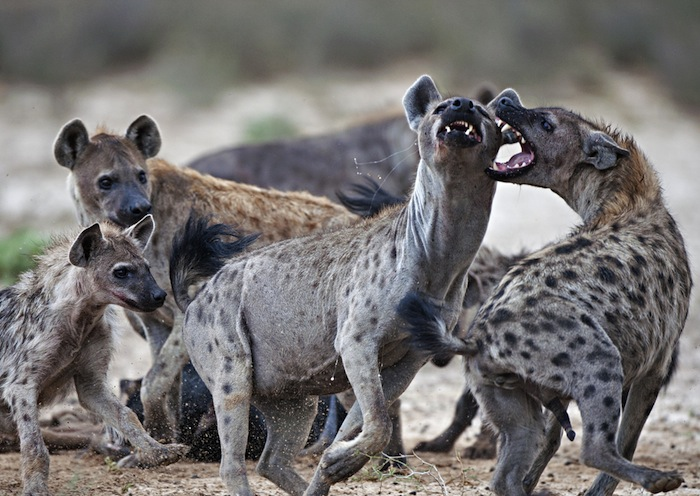 Las hienas son excelentes cazadoras en grupo. Foto: Shutterstock.