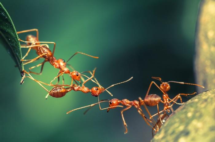 Existe una especie de hormigas en la Amazonía compuesta solo por hembras. Foto: Shutterstock.