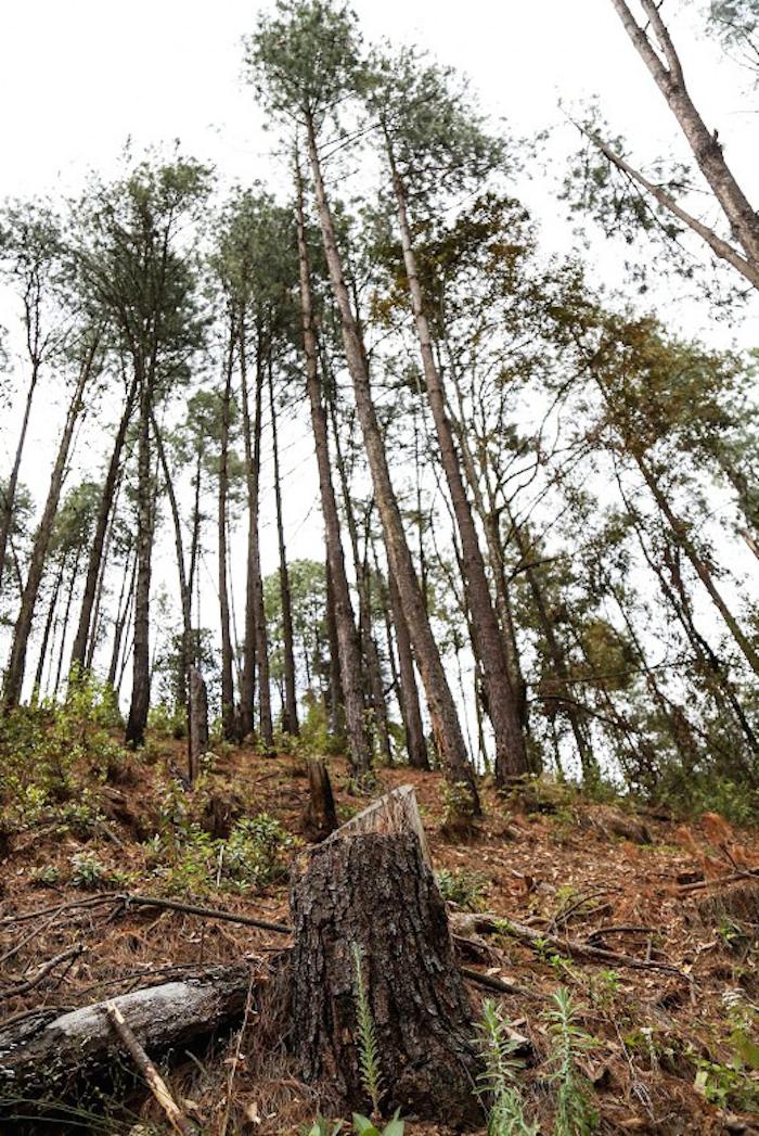 Zona devastada por talamontes. Foto: Francisco Cañedo/SinEmbargoMx.