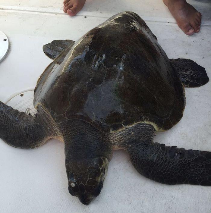Algas intoxicadas matan a tortugas y delfines en Jalisco