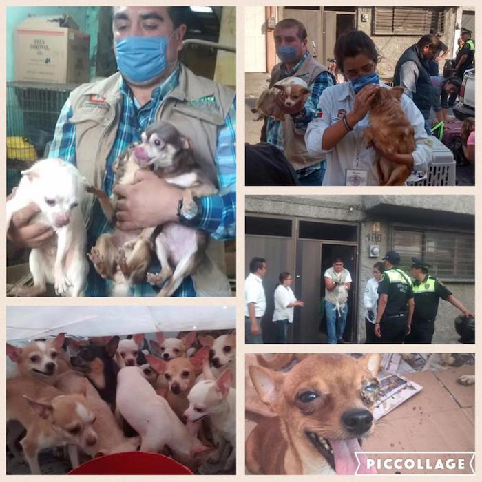 126 perros chihuahueños fueron rescatados de criadero clandestino en el Edomex. Foto: Facebook.
