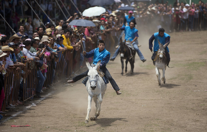 Los animales compiten con disfraces y corren por un circuito con jinetes en el lomo. Foto: AP