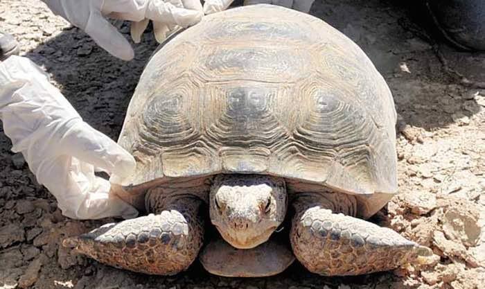 El caparazón de una tortuga puede durar decenas de años. Foto: Francisco Rodríguez, Vanguardia.
